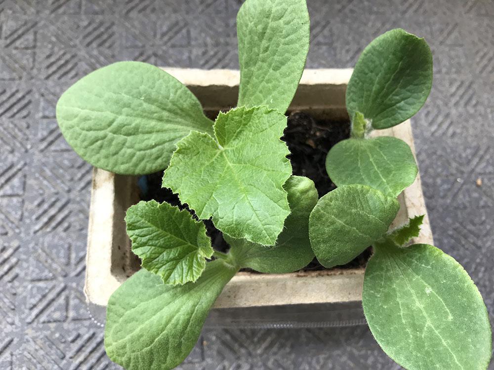 ベランダが広くなってガーデニングをまた始めました*料理した後のかぼちゃの種、芽が出ました♪